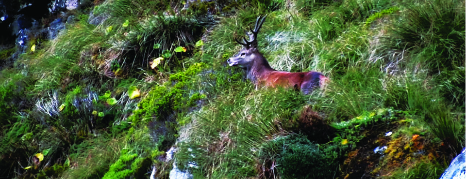 Fiordland, the Deer Recovery : Images Chocs !