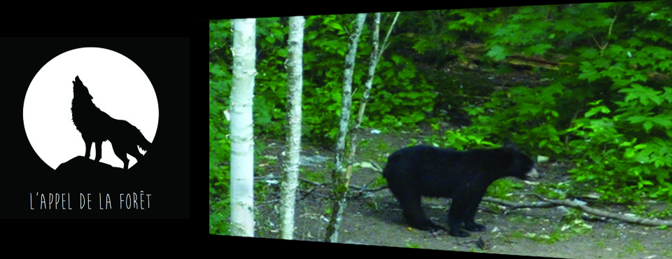 The Black bear of Laurentides and the Bow